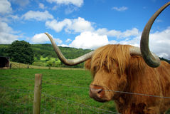 Scottish bull Stock Image