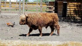 Scottish bull on a farm stock video