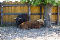 Scottish bulls resting Stock Images