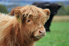 Scottish calf Stock Photography