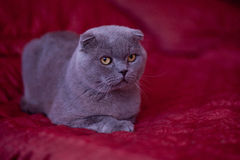 Scottish cat Stock Photos