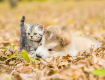 Scottish cat and alaskan malamute puppy dog together in autumn p Royalty Free Stock Image