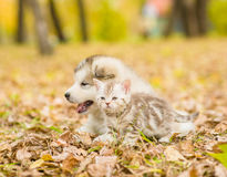 Scottish cat and alaskan malamute puppy dog together in autumn p Stock Photo