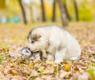 Scottish cat and alaskan malamute puppy dog together in autumn p Royalty Free Stock Photo