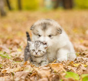 Scottish cat and alaskan malamute puppy dog together in autumn park Stock Image