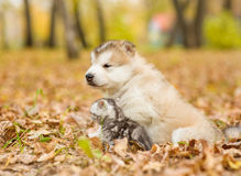Scottish cat and alaskan malamute puppy sitting in profile in autumn park Royalty Free Stock Images