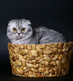 Scottish cat in a basket on a black background. Royalty Free Stock Photo
