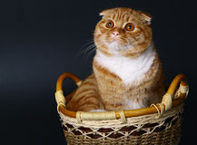 Scottish cat in a basket on a black background Royalty Free Stock Image