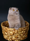 Scottish cat in a basket on a black background. Royalty Free Stock Image