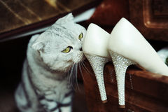 Scottish cat and beautiful women's shoes. Scottish cat and beautiful women's high heel shoes with rhinestones Royalty Free Stock Images