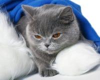 Scottish cat in a cap of Santa Klaus. Stock Image