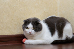 Scottish cat does not want to play with his rubber ball. Scottish cat does not want to play with his ball Royalty Free Stock Photos