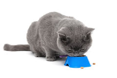 Scottish cat eating food from a bowl on a white background Stock Photography