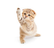 Scottish cat fold playing ball isolated Stock Images