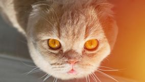 Scottish cat with golden orange eyes looking up in the sun royalty free stock photo