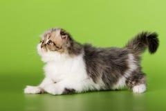 Scottish cat Stock Image