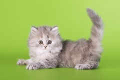 Scottish cat Stock Photo
