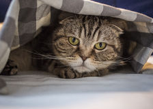 Scottish cat has hidden in fright under the checkered blanket. Close-up Royalty Free Stock Image