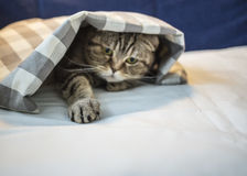 Scottish cat has hidden under the checkered blanket and pulled a. Playfully clawed his paw, close-up Royalty Free Stock Images