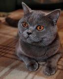 Scottish cat Royalty Free Stock Photography