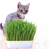 Scottish cat looking  grass Stock Images
