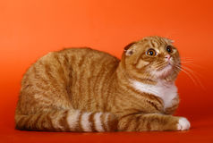 Scottish  cat on an orange background Royalty Free Stock Photos