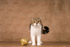 Scottish cat portrait Royalty Free Stock Photos