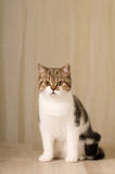 Scottish cat portrait Stock Photo