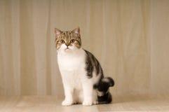 Scottish cat portrait Stock Photos