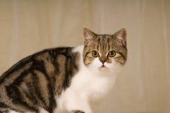 Scottish cat portrait Stock Images