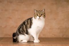 Scottish cat portrait Royalty Free Stock Photo