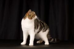 Scottish cat portrait Stock Images
