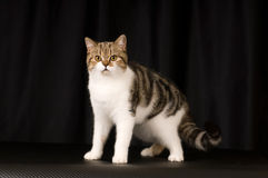 Scottish cat portrait Stock Photography