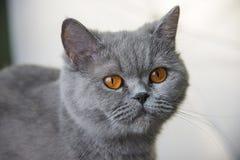 Scottish cat portrait stock image