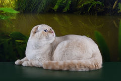 Scottish cat in the rainforest Stock Image
