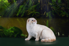 Scottish cat in the rainforest Stock Photo