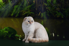 Scottish cat in the rainforest Royalty Free Stock Images