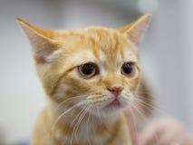 The Scottish cat Scottish straight  yellow color Stock Photos