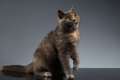Scottish Cat Sits on Gray Mirror and Looking up Stock Photo