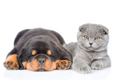 Scottish cat and sleeping rottweiler puppy lying together. Isolated on white Royalty Free Stock Images