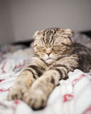 Scottish cat sleeping sweet time paw stretched out in bed. stock photography