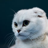 Scottish cat snout Stock Photos