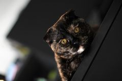 Scottish cat tortoise color. Portrait of a cat on the background of a dark interior royalty free stock photography