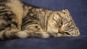 Scottish cat trying to to fall asleep, as a man on the blue sofa. Close-up Royalty Free Stock Photography