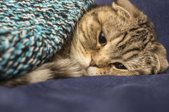 Scottish cat trying to to fall asleep, like a man under a warm k. Nitted blanket, close-up Royalty Free Stock Image