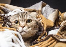 Scottish cat wrapped in a warm blanket. Close-up Royalty Free Stock Image