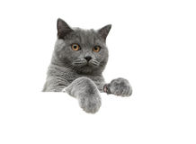 Scottish cat with yellow eyes on a white background sits behind Royalty Free Stock Photo