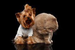 Scottish Cat and Yorkshire Terrier Dog Isolated Royalty Free Stock Images