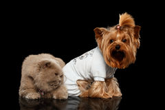 Scottish Cat and Yorkshire Terrier Dog Isolated Stock Photo