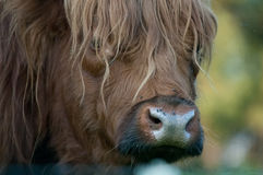 Scottish cattle Royalty Free Stock Photography